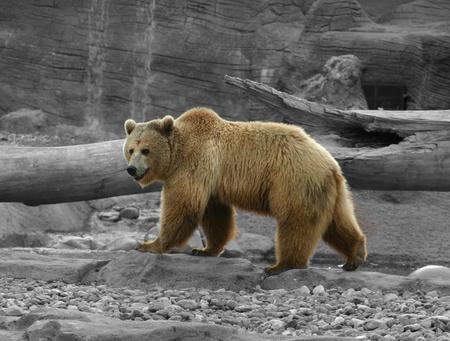 Grizzly on B&W Background