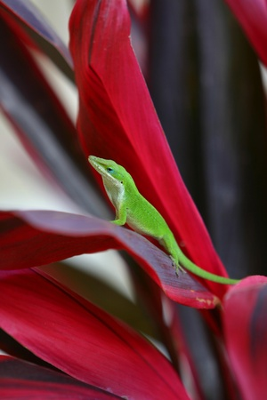 Green Anole on Red Ti Leaf Banco de Imagens