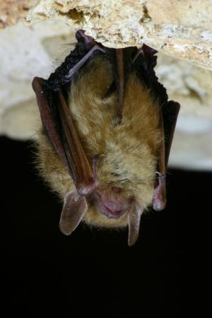 i t: Eastern Pipistrelle Bat Close Up