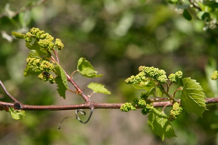 Shallow depth of field study of grapevines with baby grapes and flowers of a tree which supports the vines Imagens