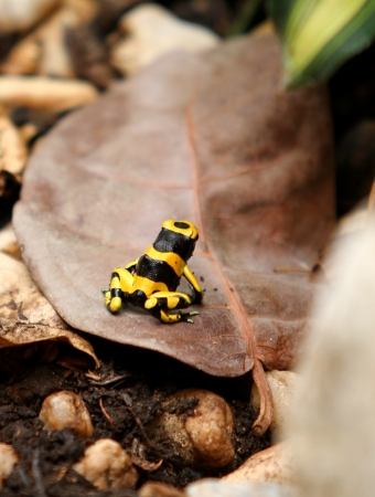 yellow and black poison dart frog: A poison dart frog in the tropical rainforest