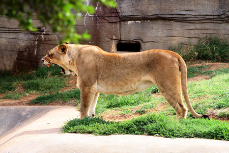 growling: Lioness yawning or growling