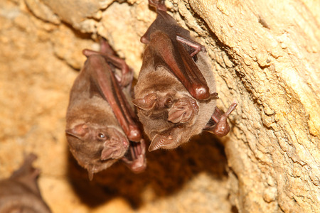 cave exploring: Pair of bats hanging in a cave Stock Photo