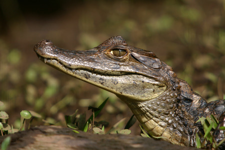 caiman: A caiman suns himself in the torturguero area of Costa Rica Stock Photo