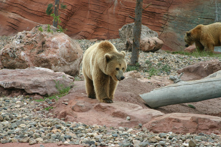 ussuri: Great grizzly bear walking with mama bear