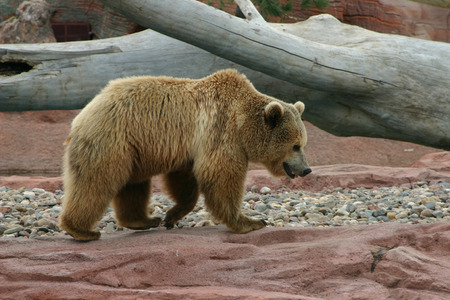 ussuri: Great grizzly bear out on a stomp