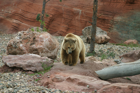 ussuri: A beautiful griz out for a walk