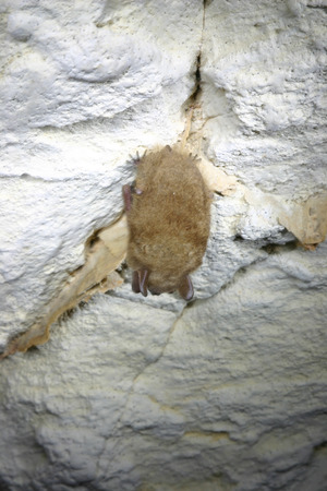 One of several Eastern Pipistrelle bats hanging out in InnerSpace Cavern In Georgetown, TX Banco de Imagens
