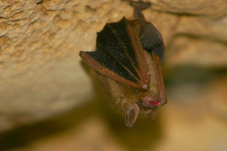 A tongue sticking out  Eastern Pipistrelle bat in InnerSpace Cavern in Georgetown, TX Banco de Imagens