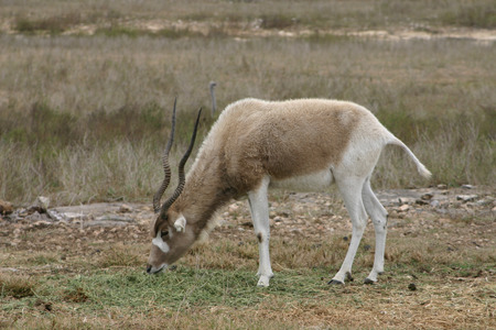An endangered Addax grazes on the savannah