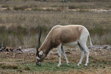 An addax grazes on the African savannah.