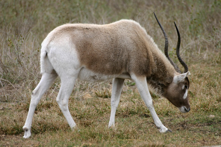 An endangered Addax grazes on the African savannah