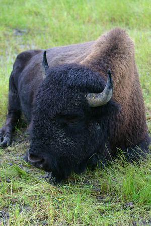 A relaxing Buffalo on the Great Plains
