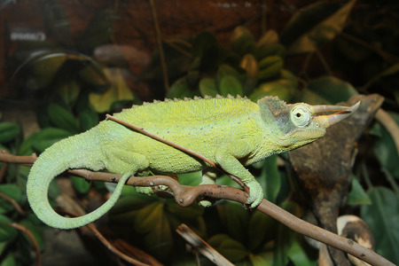 Green Horned Chameleon poses on rainforest branch