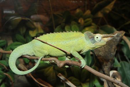 colouration: Green Horned Chameleon poses on rainforest branch