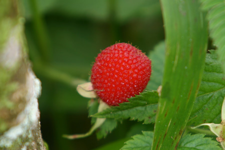 costa rican: An individual raspberry in the Costa Rican rainforest