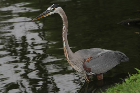 Great Blue Heron sits on a snag branch looking at a turtle