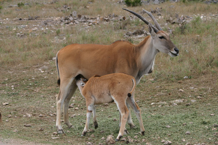 A baby kudu nursing on his mother