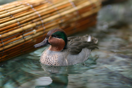 dabbling: A Eurasian Teal duck out for a swim along the edge of the bamboo river raft.