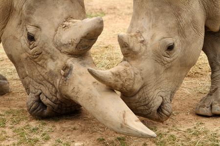 White rhinoceros horn battle for mating rights