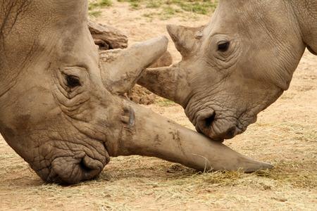 dominance: White rhinoceros horn battle for mating rights