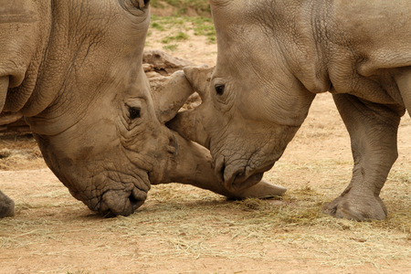 White rhinoceros horn battle for mating rights
