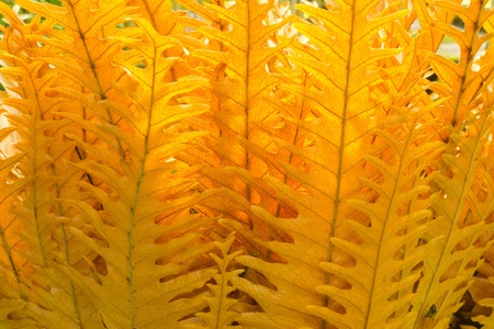 Golden fern Stock Photo - 10974230