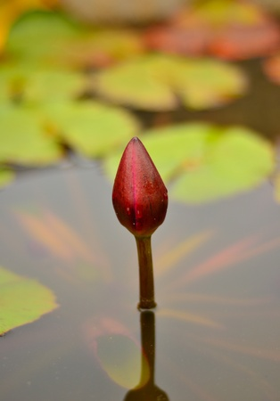 Lotus emerge from the water. photo