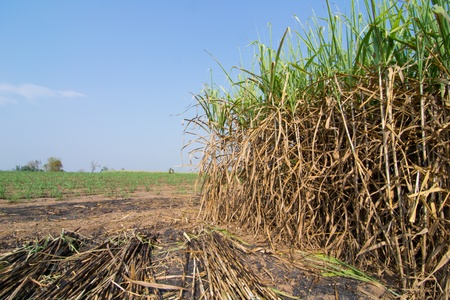 Sugarcane field in Loei Province, Thailand. photo