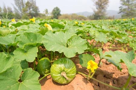 toppa: Zucca verde crescente nel settore