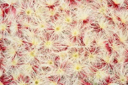 barringtonia: Barringtonia acutangula  flower background
