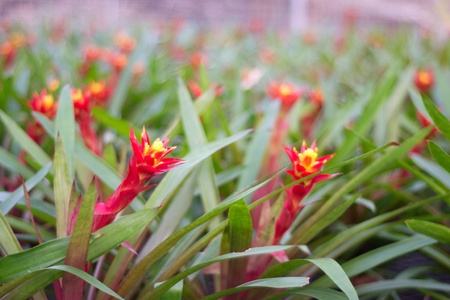 colorful bromeliad in Loei, Thailand photo