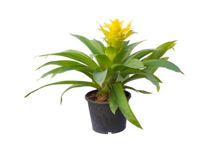 Bromeliad  isolated on white background