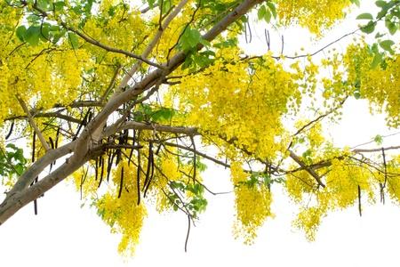 golden shower: cassia fistula flower      Stock Photo