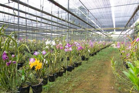 Dendrobium orchid photo