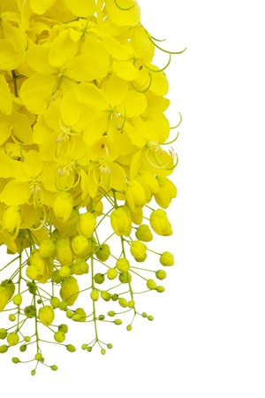 Cassia fistula flower  isolated on white background    photo