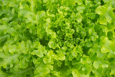 Fresh green lettuce photo