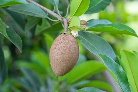 Sapodilla fruit on the tree  photo