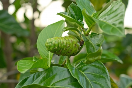 noni: Noni fruit on tree Stock Photo