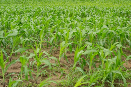 corn seedlings growing in field Stock Photo - 13985191