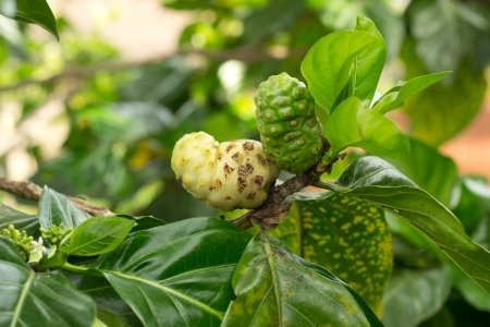 Noni fruit on tree photo