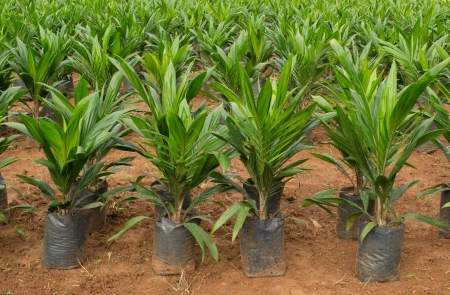 Oil palm sapling photo