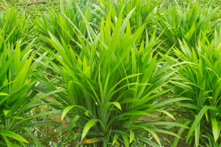 pandanus tree: pandan leaf