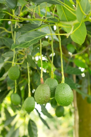 Avocados  growing in a tree photo
