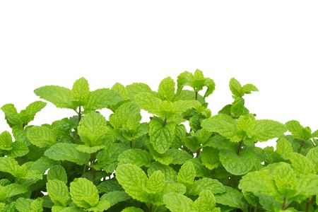 peppermint isolated on white background