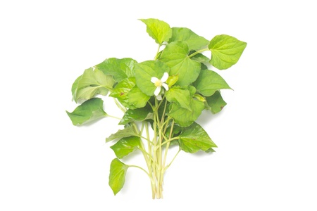 Branch of houttuynia cordata on white background 版權商用圖片