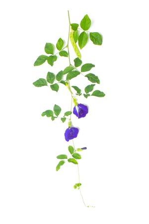colorant: vine of Clitoria ternatea on white background