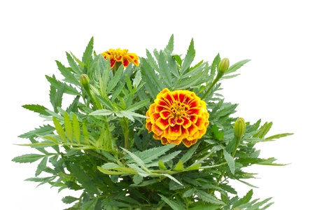 tree marigold: French Marigolds on tree isolated on white background