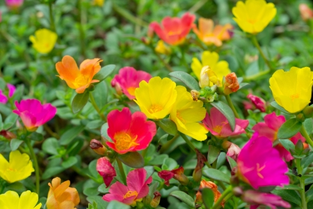 Portulaca flowers Stock Photo
