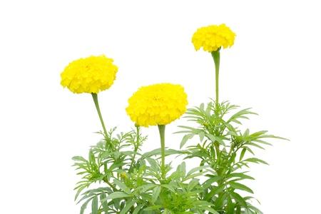 tagetes: golden marigold flower isolated on white background